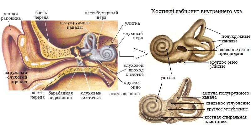 внутреннее ухо строение и функции