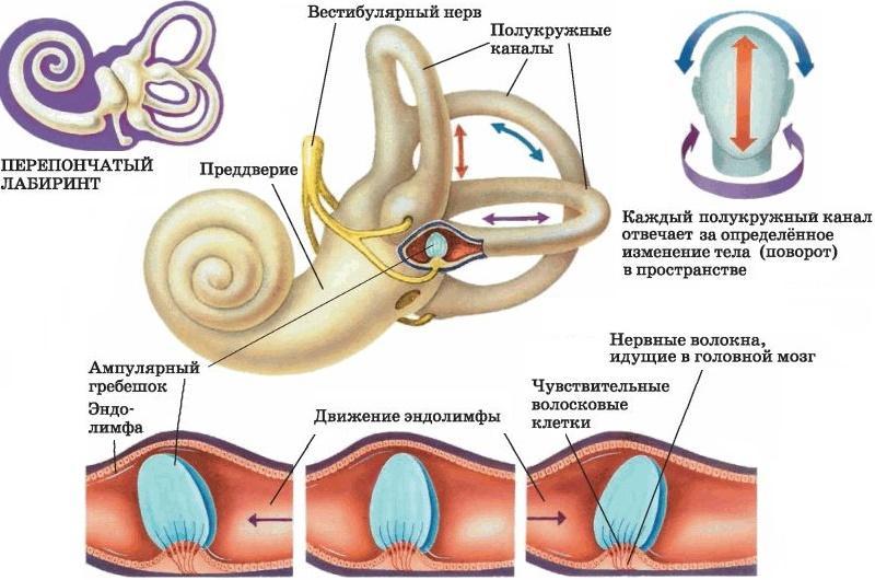 чем заполнена полость внутреннего уха
