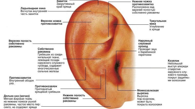 строение органов слуха