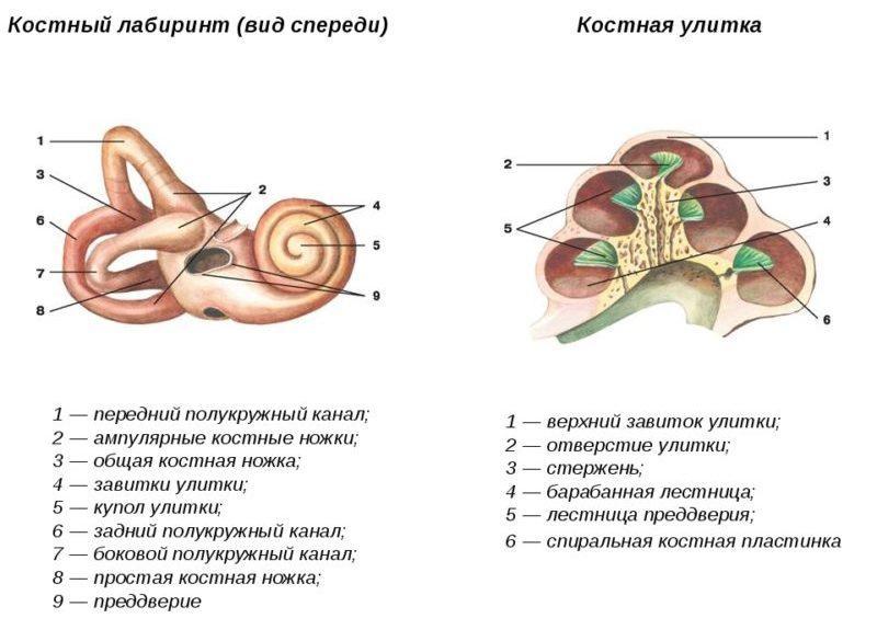 улитка ухо