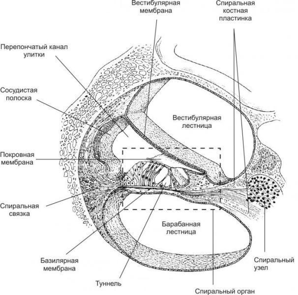 строение улитки внутреннего уха
