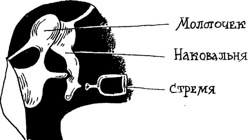 Ушной канал человека фото