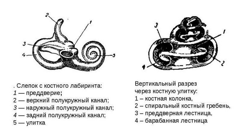 Длина слухового канала
