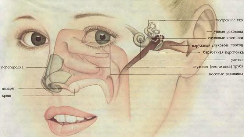 Строение ушного канала