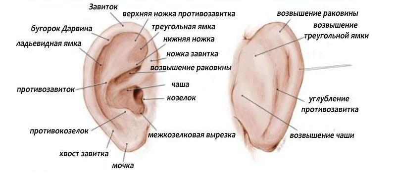 наружное ухо состоит из