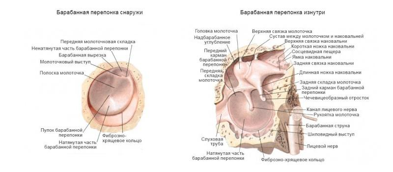 наружное ухо строение и функции