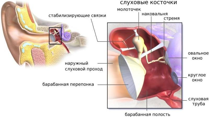 устройство человеческого уха