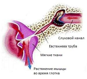 устройство уха человека