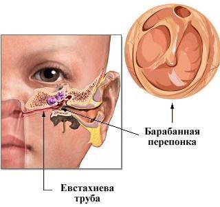 строение слухового аппарата человека