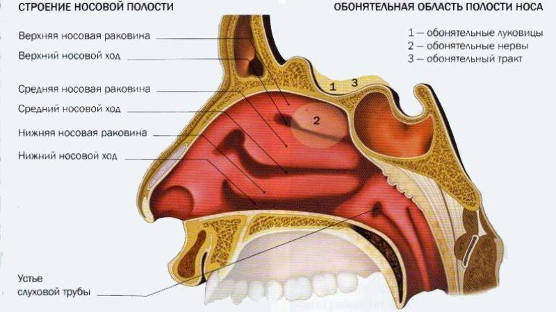 нос и околоносовые пазухи