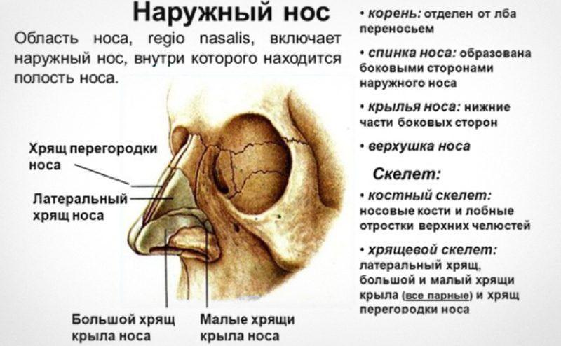 пазухи носа анатомия