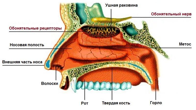 лечение аносмии