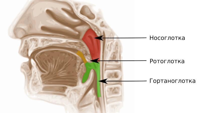 функция носоглотки