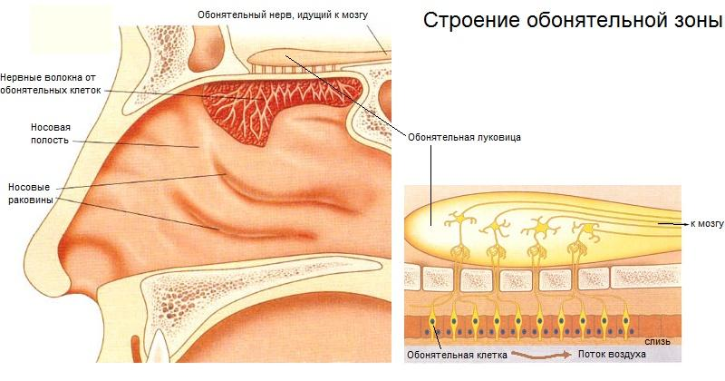 The nasal cavity of the person: structure and functions