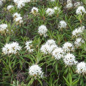 трава багульник от кашля для детей