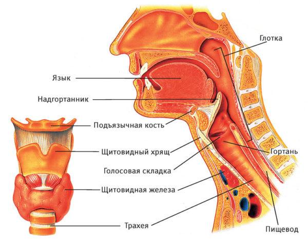 Как устроено горло человека